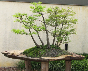 bald cypress bonsai3 Bald Cypress Bonsai Tree