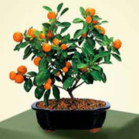 calamondin orange bonsai2 Calamondin Orange Bonsai Tree