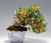 calamondin orange bonsai3 Calamondin Orange Bonsai Tree