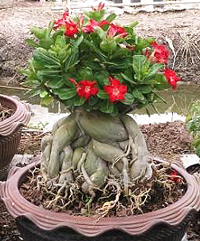 desert rose bonsai3 Desert Rose Bonsai Tree