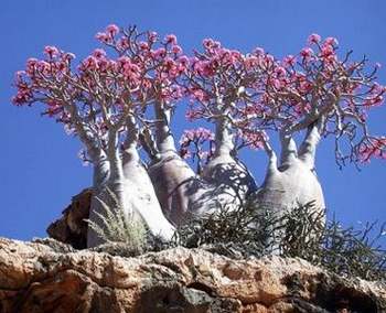 desert rose bonsai6 Desert Rose Bonsai Tree