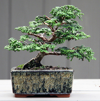 false cypress bonsai1 Hinoki False Cypress Bonsai Tree