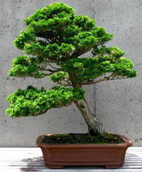 false cypress bonsai2 Hinoki False Cypress Bonsai Tree