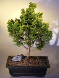 false cypress bonsai5 Hinoki False Cypress Bonsai Tree