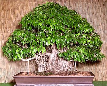 ficus bonsai tree ficus benjamina. Black Bedroom Furniture Sets. Home Design Ideas