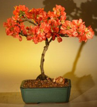 flowering quince bonsai3 Flowering Quince Bonsai Tree