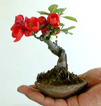 flowering quince bonsai4 Flowering Quince Bonsai Tree