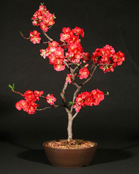 flowering quince bonsai7 Flowering Quince Bonsai Tree