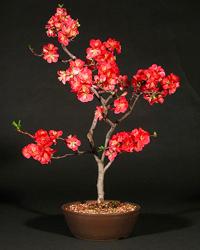 Flowering Quince Bonsai Tree Chaenomeles Speciosa