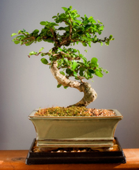 fukien tea bonsai1 Fukien Tea Bonsai Tree