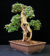 fukien tea bonsai2 Fukien Tea Bonsai Tree