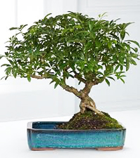 hawaiian umbrella bonsai2 Hawaiian Umbrella Bonsai Tree