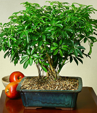 hawaiian umbrella bonsai3 Hawaiian Umbrella Bonsai Tree