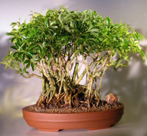 hawaiian umbrella bonsai41 Hawaiian Umbrella Bonsai Tree