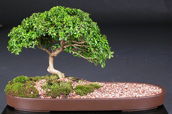 kingsville boxwood bonsai2 Japanese Kingsville Boxwood Bonsai Tree