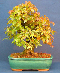 rock hornbeam bonsai1 Rock Hornbeam Bonsai Tree