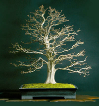 rock hornbeam bonsai2 Rock Hornbeam Bonsai Tree