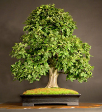 rock hornbeam bonsai3 Rock Hornbeam Bonsai Tree