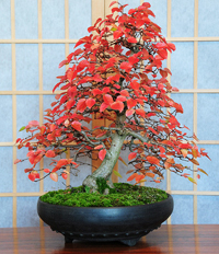 rock hornbeam bonsai4 Rock Hornbeam Bonsai Tree