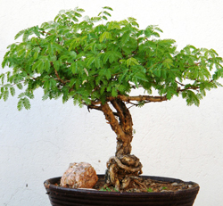sweet acacia bonsai1 Sweet Acacia Bonsai Tree