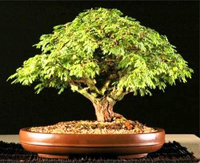 sweet acacia bonsai2 Sweet Acacia Bonsai Tree