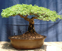 sweet acacia bonsai3 Sweet Acacia Bonsai Tree