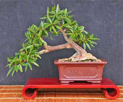willow leaf bonsai tree4 Willow Leaf Ficus Bonsai Tree