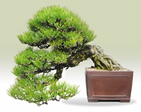 black pine bonsai2 Japanese Black Pine Bonsai Tree