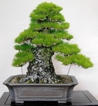 black pine bonsai4 Japanese Black Pine Bonsai Tree