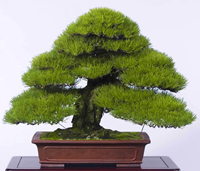 black pine bonsai5 Japanese Black Pine Bonsai Tree
