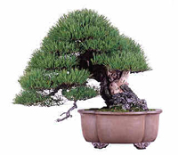 blue spruce bonsai3 Colorado Blue Spruce Bonsai Tree