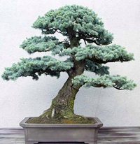 blue spruce bonsai4 Colorado Blue Spruce Bonsai Tree