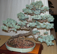 blue spruce bonsai7 Colorado Blue Spruce Bonsai Tree