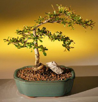 dwarf olive bonsai1 Dwarf Black Olive Bonsai Tree