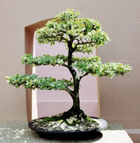 dwarf olive bonsai2 Dwarf Black Olive Bonsai Tree
