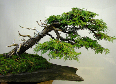 eastern white cedar bonsai11 Eastern White Cedar Bonsai Tree