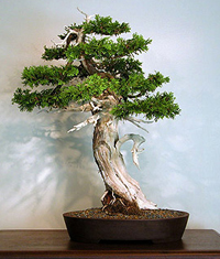 eastern white cedar bonsai2 Eastern White Cedar Bonsai Tree