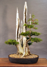 eastern white cedar bonsai4 Eastern White Cedar Bonsai Tree