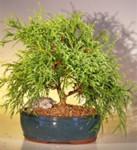 green thread cypress bonsai1 Green Thread Cypress Bonsai Tree
