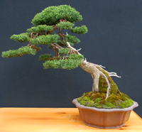 italian cypress bonsai1 Italian Cypress Bonsai Tree