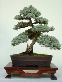 italian cypress bonsai2 Italian Cypress Bonsai Tree