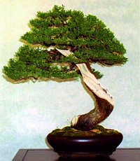 italian cypress bonsai3 Italian Cypress Bonsai Tree
