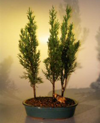 italian cypress bonsai4 Italian Cypress Bonsai Tree