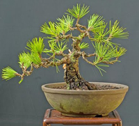 japanese larch bonsai2 Japanese Larch Bonsai Tree