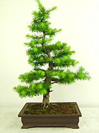 japanese larch bonsai4 Japanese Larch Bonsai Tree