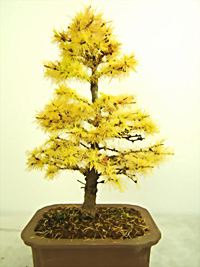 japanese larch bonsai5 Japanese Larch Bonsai Tree