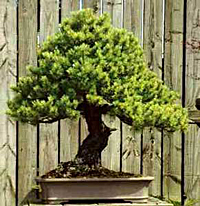 japanese larch bonsai6 Japanese Larch Bonsai Tree