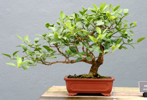 key lime bonsai2 Key Lime Bonsai Tree