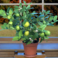 key lime bonsai3 Key Lime Bonsai Tree