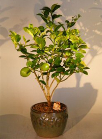 key lime bonsai4 Key Lime Bonsai Tree